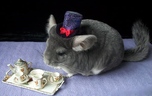 fancy,cute,tea,chinchilla