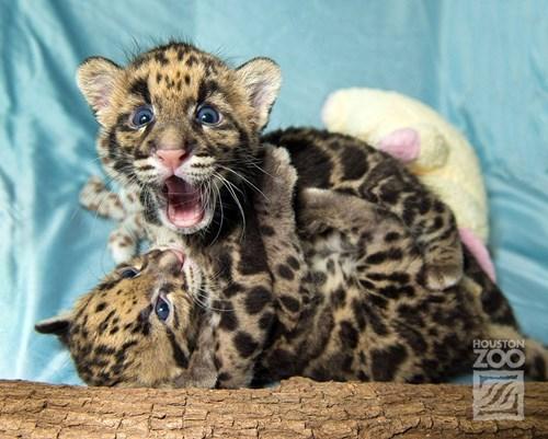 wrestle leopard cute squee - 8288867840