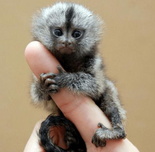 monkeys tiny cute - 8288909824