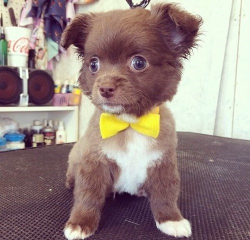 dogs poorly dressed bow tie cute - 8288979712