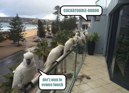 cockatoo jokes birds - 8290602496