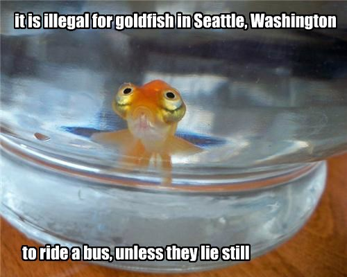 it is illegal for goldfish in Seattle, Washington to ride a bus, unless they lie still