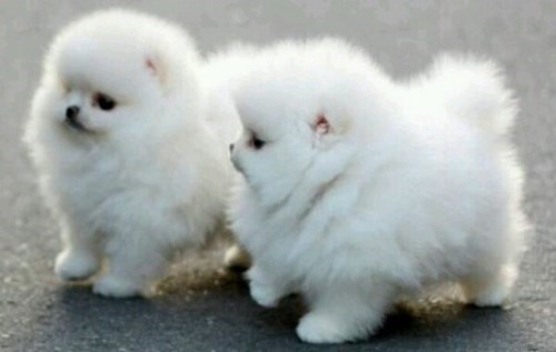 pomeranian dogs Fluffy cute - 8293930752