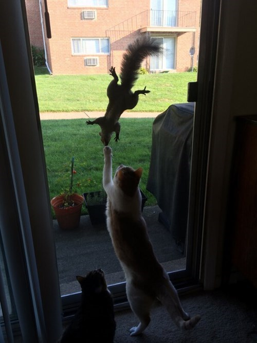 teaser squirrels hunting Cats - 8293957632