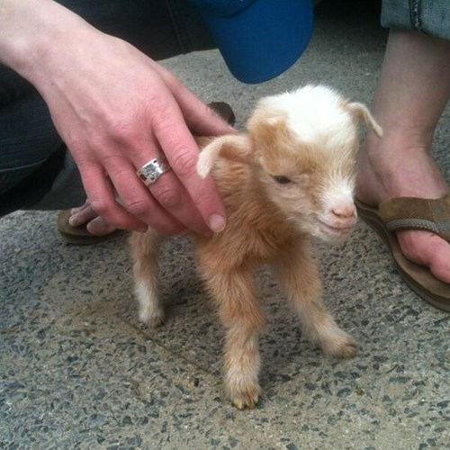 kids tiny goats cute squee - 8293984256