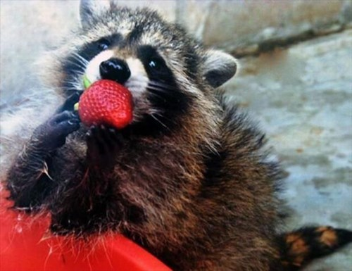 cute,strawberry,raccoons