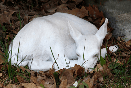 albino cute deer fawn - 8295172864