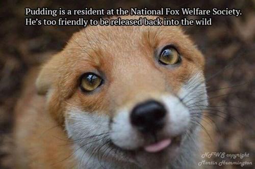 foxes cute friendly