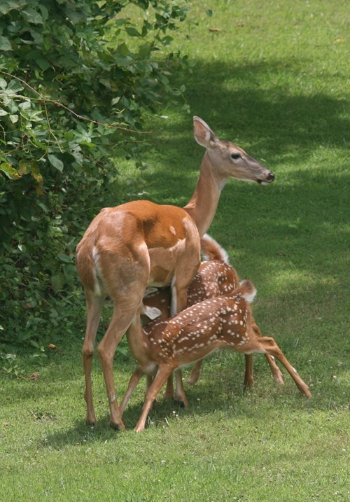 fawns cute nursing deer - 8295813376