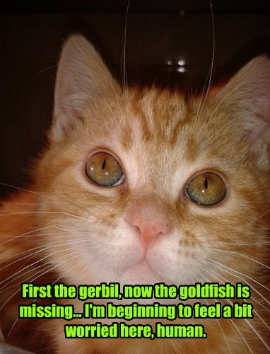 First the gerbil, now the goldfish is missing... I'm beginning to feel a bit worried here, human.