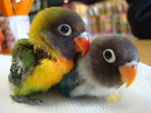 birds cute cuddles - 8298903808