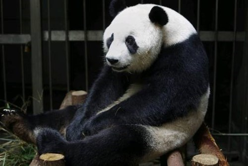 pregnancy,wtf,giant panda,animals