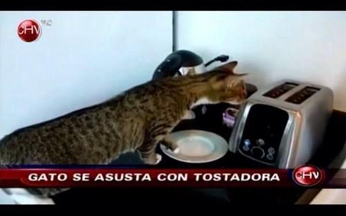 gatos bromas curiosidades animales medios - 8300864512