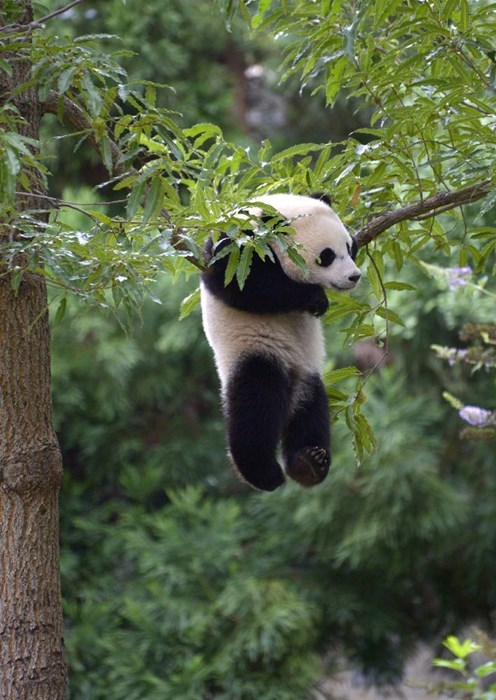 panda,hanging,cute