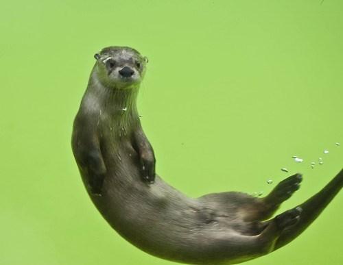 river otter otter - 8302081024