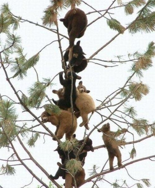 bears cute cubs tree