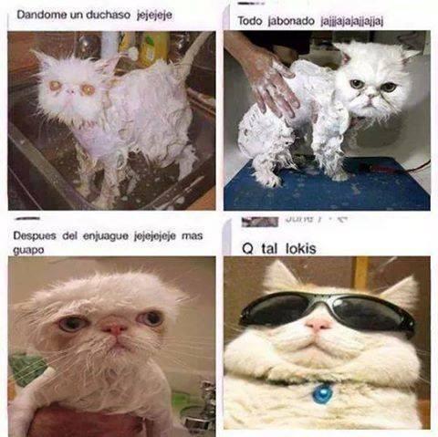 gatos bromas Memes animales medios - 8303106048