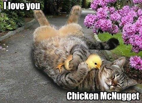 Cats,chicken nuggets,chickens,Interspecies Love