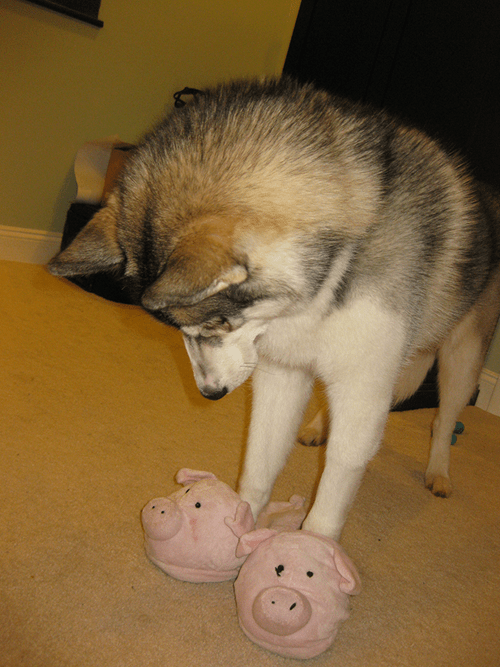 dogs,pig,poorly dressed,slippers