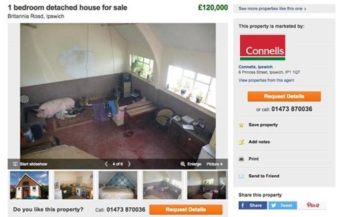 for sale pets pig when you see it