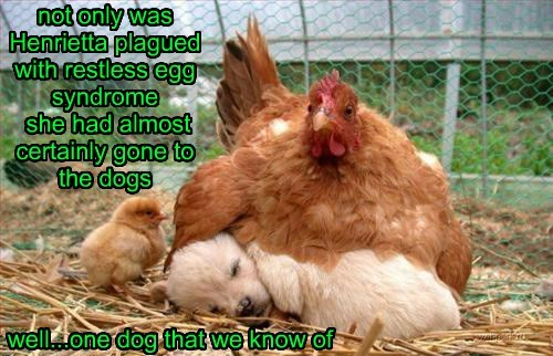not only was Henrietta plagued with restless egg syndrome she had almost certainly gone to the dogs well...one dog that we know of