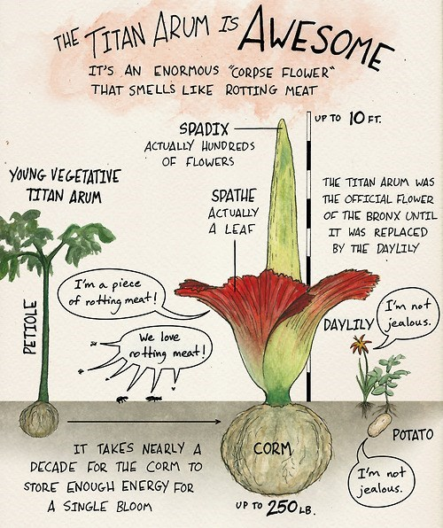 flowers funny science titan arum plants - 8306757888