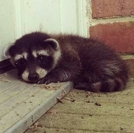 raccoons-233 cute-10394 - 8307508224