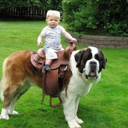dogs st bernard kids parenting - 8307565568