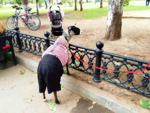 leash poorly dressed stripes sheep g rated - 8307616000
