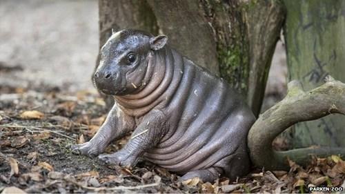 baby,cute,hippo