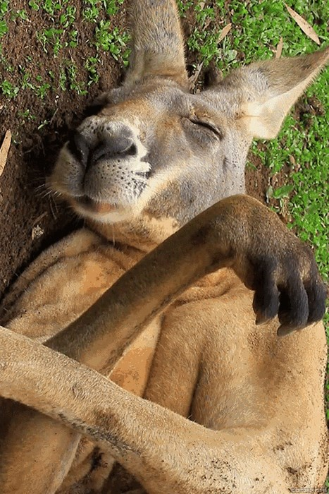 Kangaroo Dreaming Of Food
