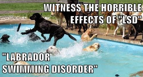 dogs,labrador,swimming