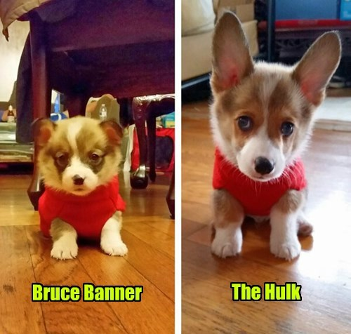 puppy corgi squee - 8317160448