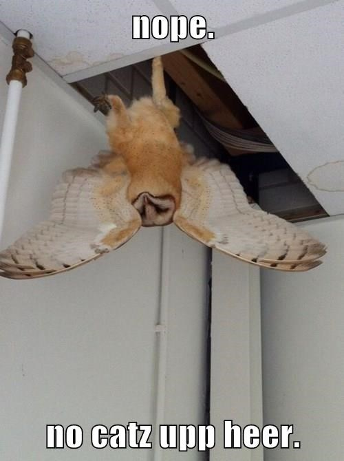 basement cat ceiling cat Owl - 8320306944