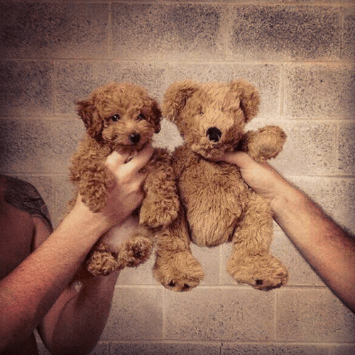 teddy bear,dogs,puppy,cute