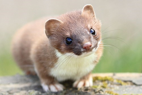 cute-10443 stoat-17 - 8321054208