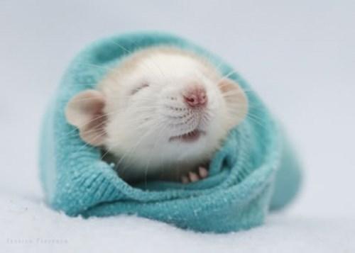 cute-10443 rat-245 - 8321054976