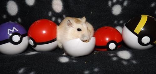 Pokémon hamster - 8322457344