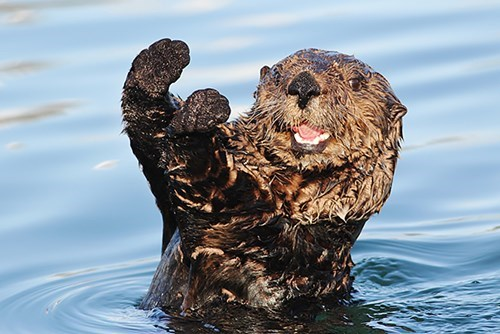 sea otters,national sea otter day,caption contest