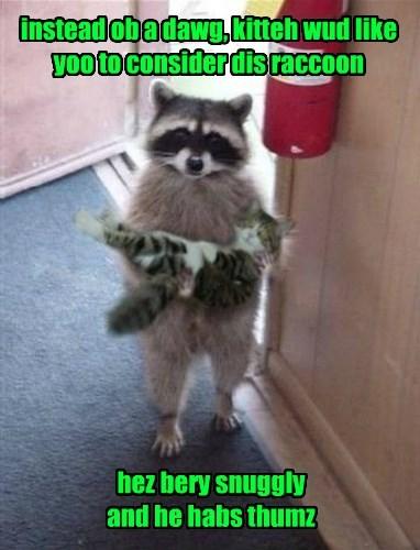 Cats raccoons groot - 8325051136