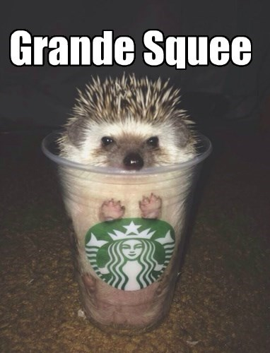 coffee,hedgehog,Starbucks