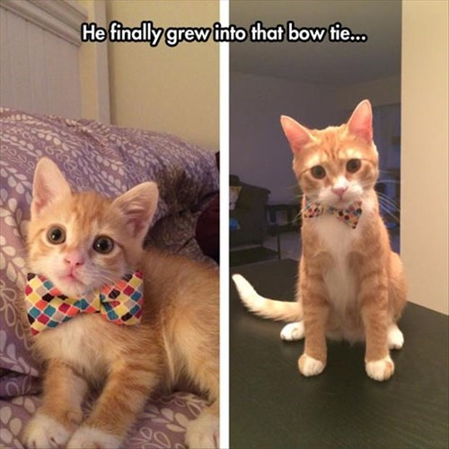 bow tie Cats cute if it fits poorly dressed