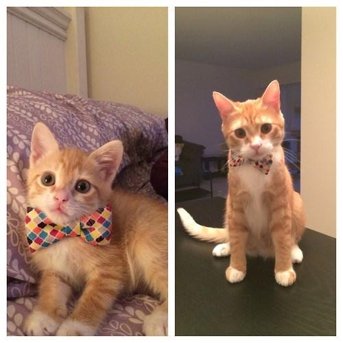 bow tie kitten squee tabby - 8327027712