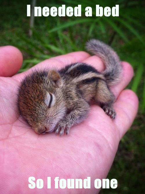 baby animal chipmunk cute squee sleeping - 8328126208