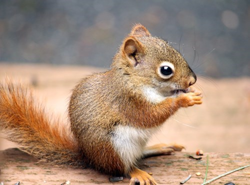 cute-10479 squirrel-640 - 8328413952