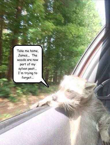 car ride home cruise raccoon - 8328923648