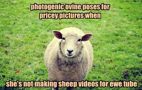 cute ewe sheep - 8329390080