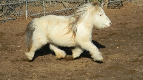 Fluffy,cute,miniature,horse