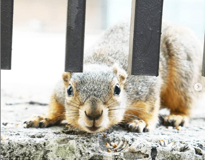 university yearbook squirrel cute texas - 8331781