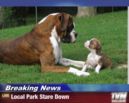 boxer puppy - 8332832256